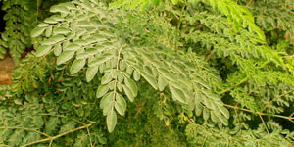 מורינגה – עץ החיים