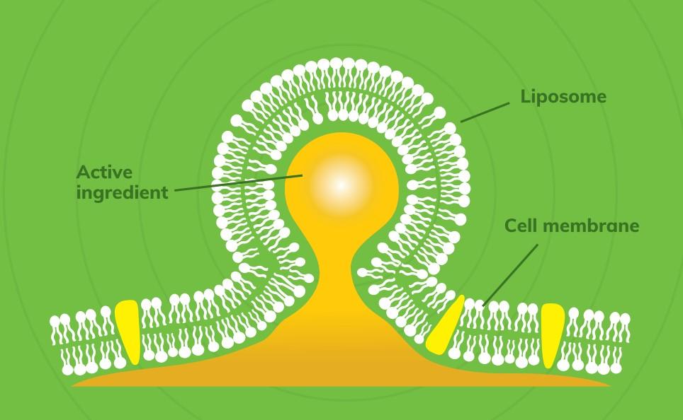 מבנה של ליפוזום